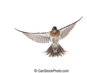 thrush - isolated flying thrush on a white background