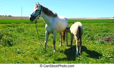 Mare with her foal in the field, su