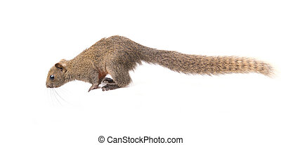 Red-bellied squirrel isolated - Red-bellied squirrel sit on...