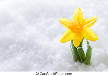 Crocus flower growing form snow. Spring start - Crocus...