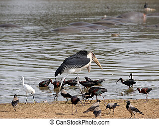 Marabou stork among the birds on the lake