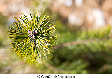Detailed view of the needles at young pine - Background with...