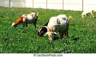 Goats grazing in a meadow (4K)