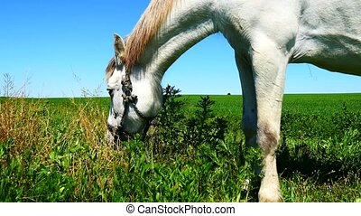 White horse grazing in field 4K