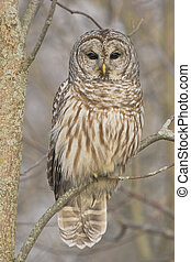 Barred Owl in his habitat, southern Ontario, winter.