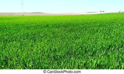 Green wheat field growing (4K)