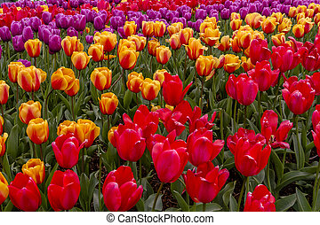 Skagit Valley Oregon Tulip Fields - Colorful rows of tulip...