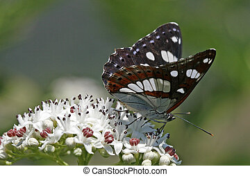 Southern White Admiral (Limenitis reducta) - Rare butterfly...