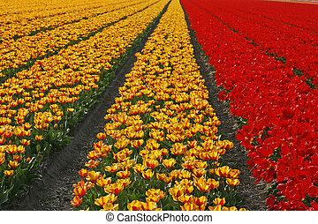 Tulipa, Tulpenfelder bei Lisse