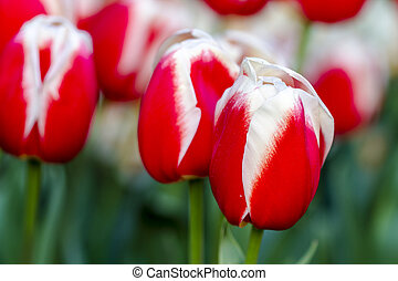 Skagit Valley Oregon Tulip Fields - Close up of bright red...