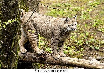 Wild Bobcast in Mountain Setting - Wild bobcat standing on...