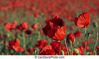 Field Poppies Swaying On Breeze - Picturesque shot of a rich...