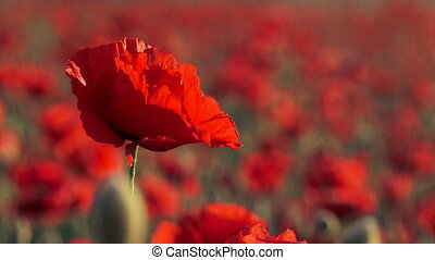 Beautiful Field Poppy Swaying On Breeze - This is a footage...