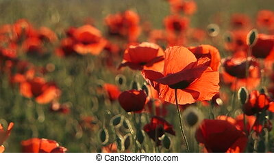 Beautiful Field Poppies Swaying On Breeze - Picturesque...