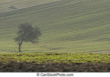 Lone tree - lone tree on green field in spring