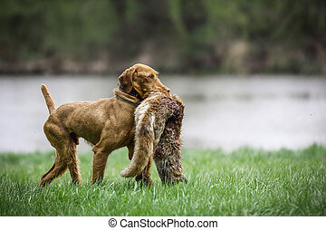 Wirehaired Vizsla with Fox
