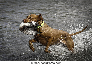 Wirehaired Vizsla with Duck