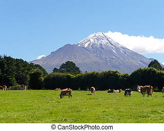 Mount Taranaki New Zealand - Mount Taranaki and cows farm in...