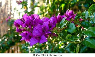 Bougainvillea flower in spring (4K)