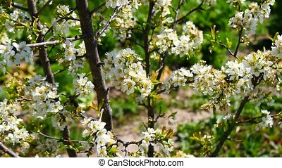 Plum tree blossoms in spring