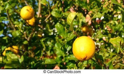 Lemon tree 4K