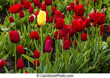 Woodburn Oregon Tulip Fields - Single yellow tulip stem...