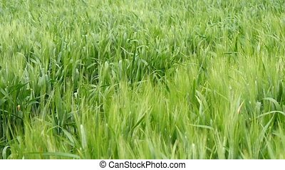 Spikes of green wheat moving in the wind