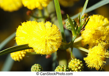 Beautiful flowers fluffy yellow mimosa macro outdoors,...