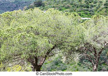 italian stone pine trees in Sicily in spring