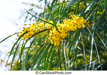 yellow flowers of mimosa acacia tree close up - yellow...