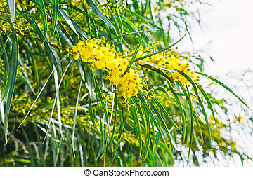 blossoming of mimosa tree acacia in spring - blossoming of...