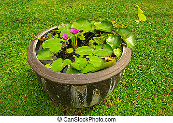 water lilly in a pot