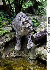 leopard - a view of a white leopard