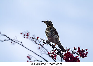 Redwing Turdus iliacus perched on a branch with red berrys...