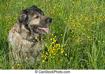 Dog in flower field - Shepherd doc in the flower field