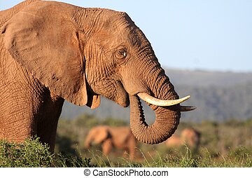 African Elephant Eating - Big male African elephant with...