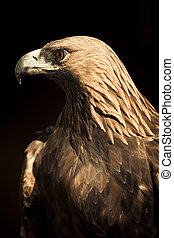 Staring golden eagle - Golden eagle staring at left side