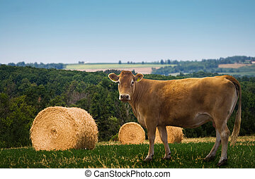 Cow - A country field with a cow and some hay bales.