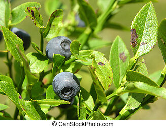 Bilberry bush with ripe bilberries