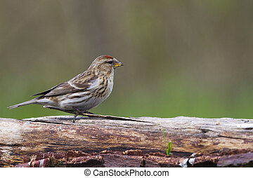 Redpoll (Carduelis flammea)  closeup on a branch