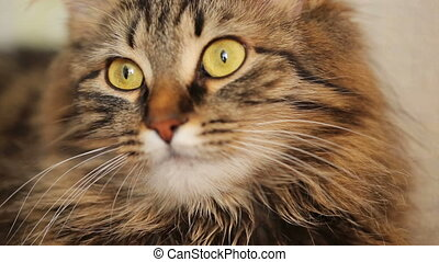 Cute domestic tabby cat close-up