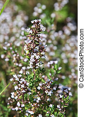 Thyme blossom - Thyme flowers in a garden