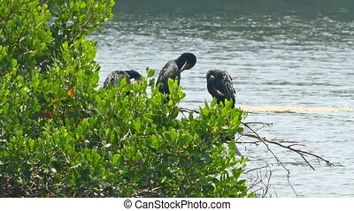 Great Cormorants on tree spreading wings - Great Cormorants...