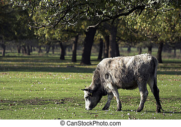 Bulgarian gray cattle out at feed