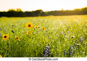 Texas Wildflowers - Texas bluebonnets and sunflowers on a...