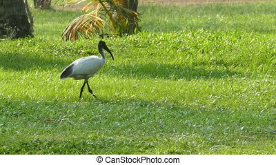 ibis bird walking on meadow