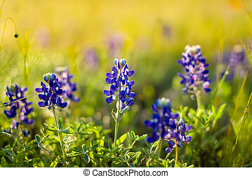 Texas Wildflowers - Texas bluebonnets on a sunny spring...