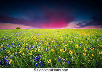 Texas Wildflowers - Bluebonnets and sunflowers in predawn...