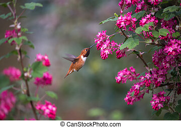 Rufous Hummingbird and Red flowering Currant,