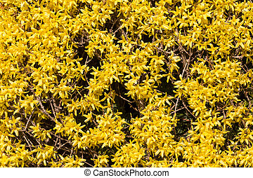 Winter Jasmine - Yellow Winter Jasmine ( Jasminum nudiflorum...